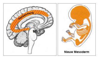M_ED_Medulla_MC_Dutch
