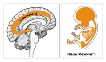 M_ED_Medulla_New_Mesoderm_Dutch